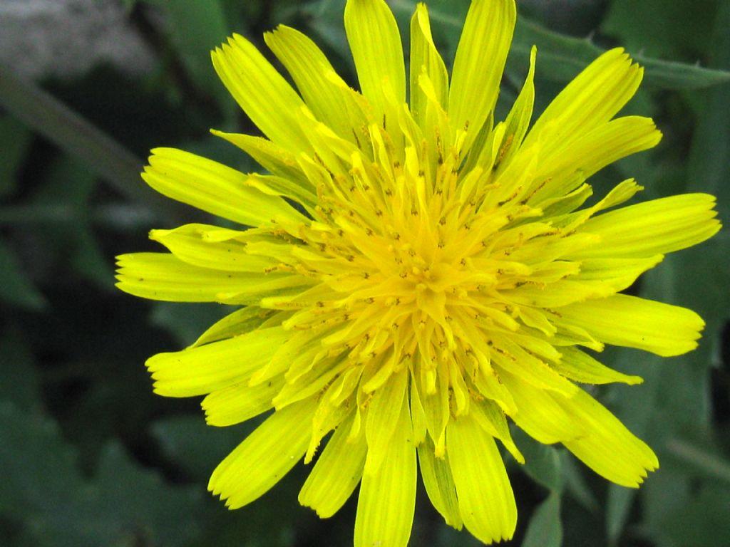 Sonchus oleraceus?
