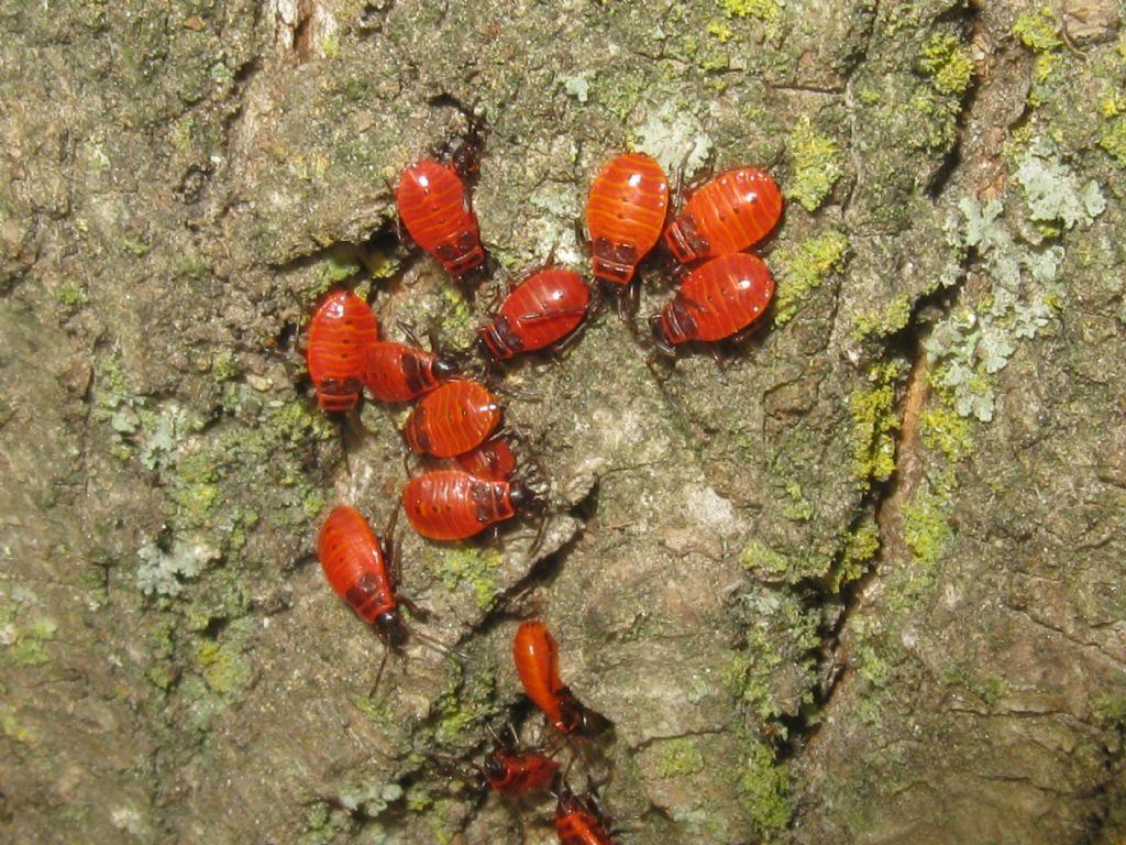 Calocoris...? No, Pyrrhocoris apterus (Pyrrhocoridae), adulti e ninfe