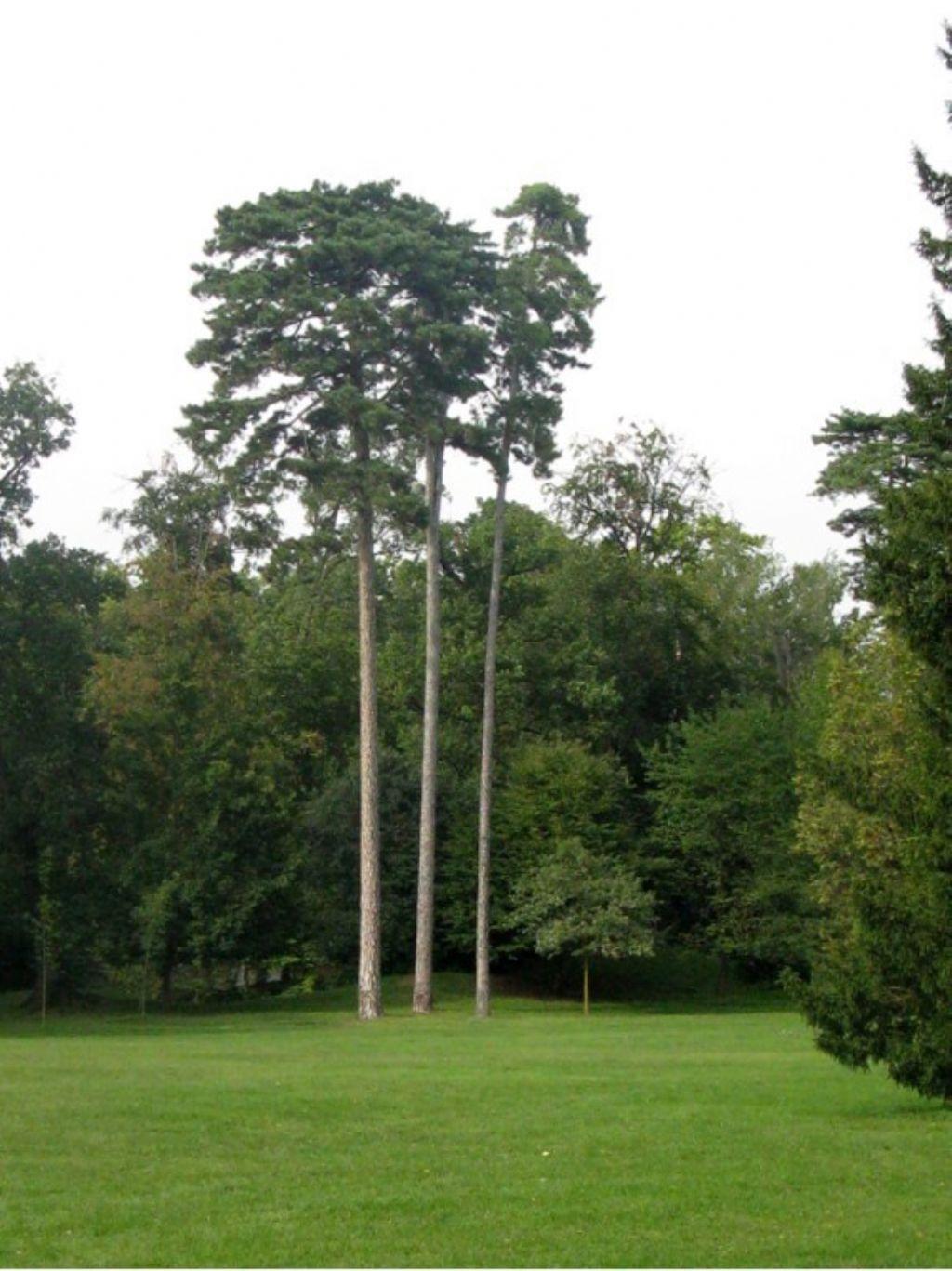 Quale pino?  Pinus cfr. nigra