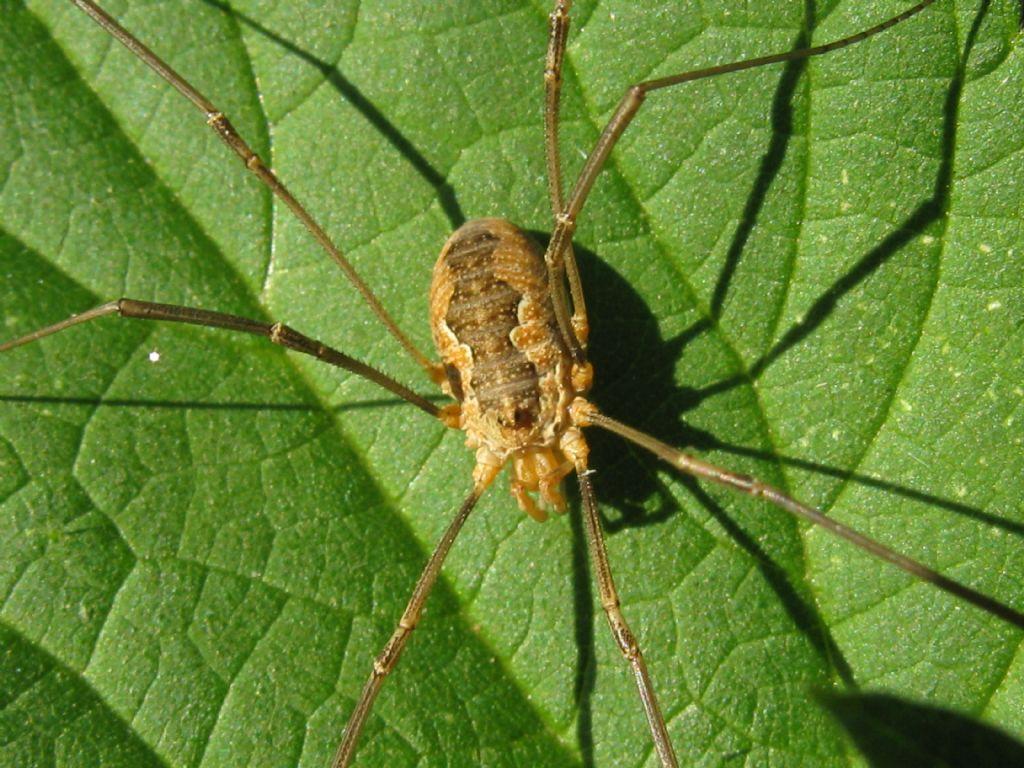 Phalangiidae: Mitopus morio e Phalangium opilio, femmine