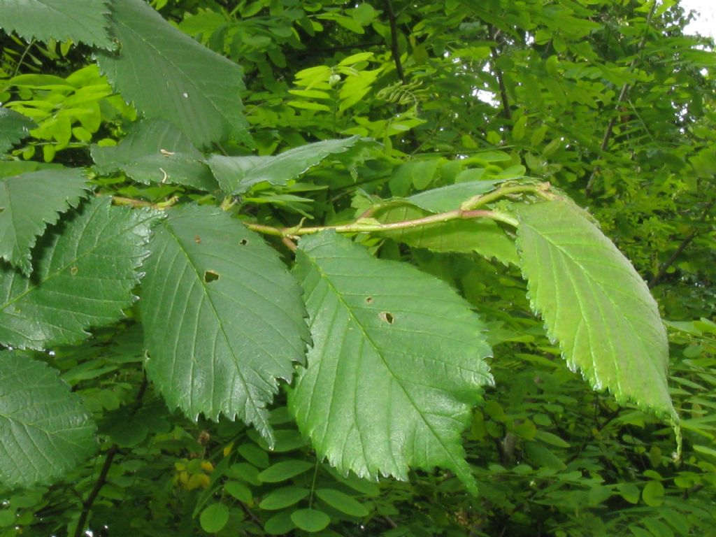 Aphididae: Eriosoma lanuginosum? No, galla di Tetraneura ulmi