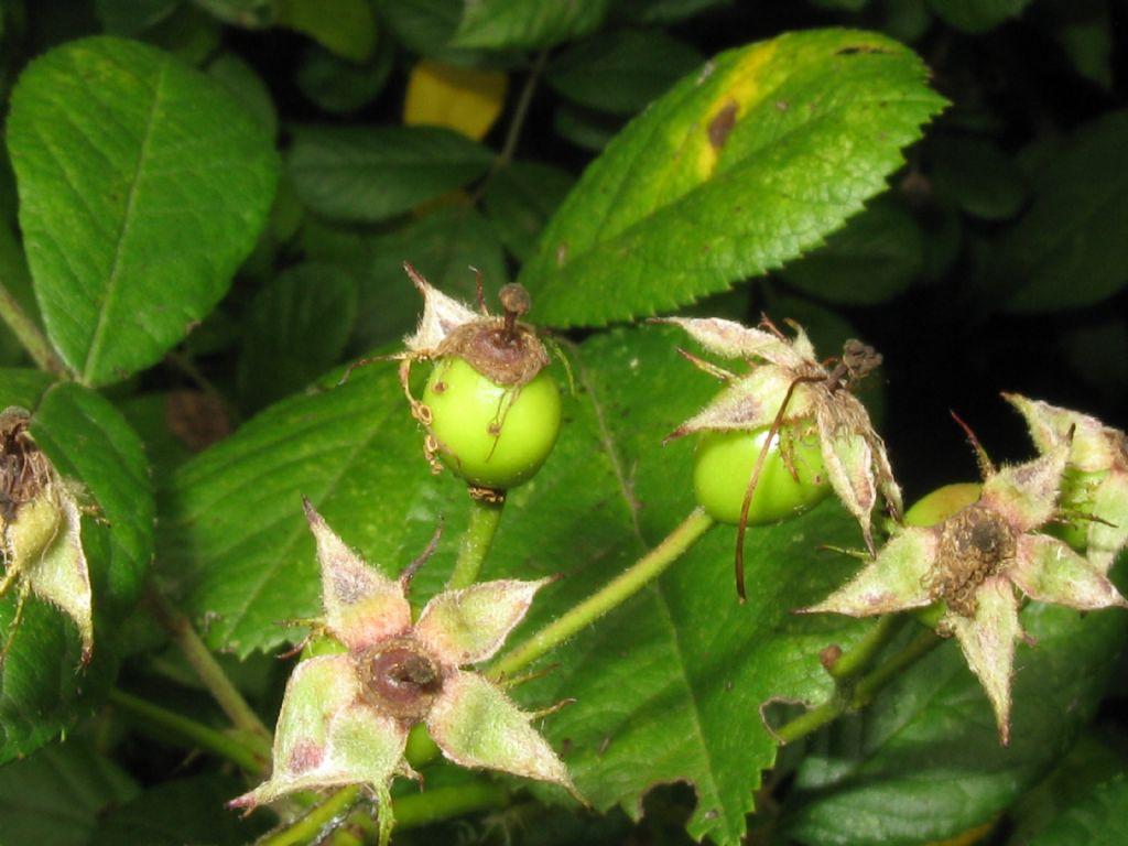 cv ''Inermis'' di Rosa multiflora