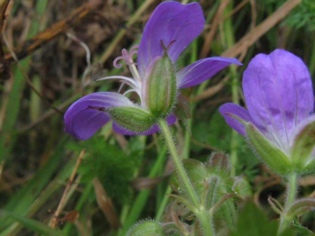Geranium sylvaticum / Geranio silvano