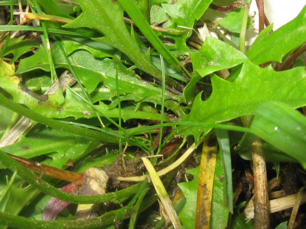 Taraxacum alpinum?