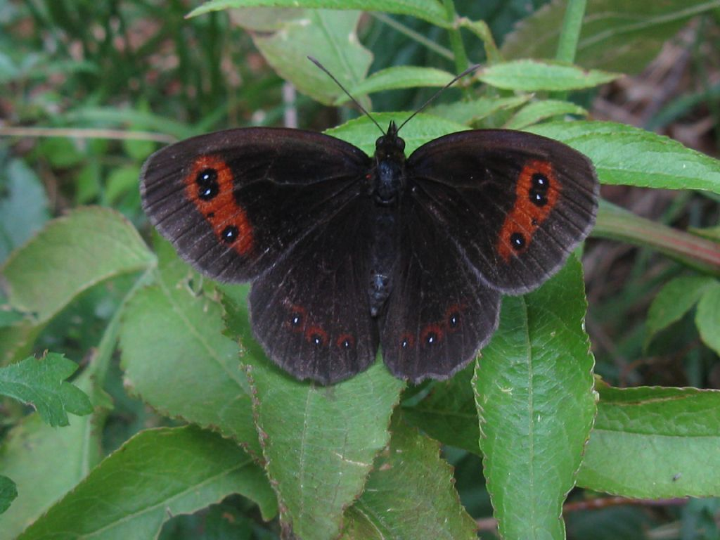 Erebia aethiops + Erebia ligea? Entrambe E. aethiops