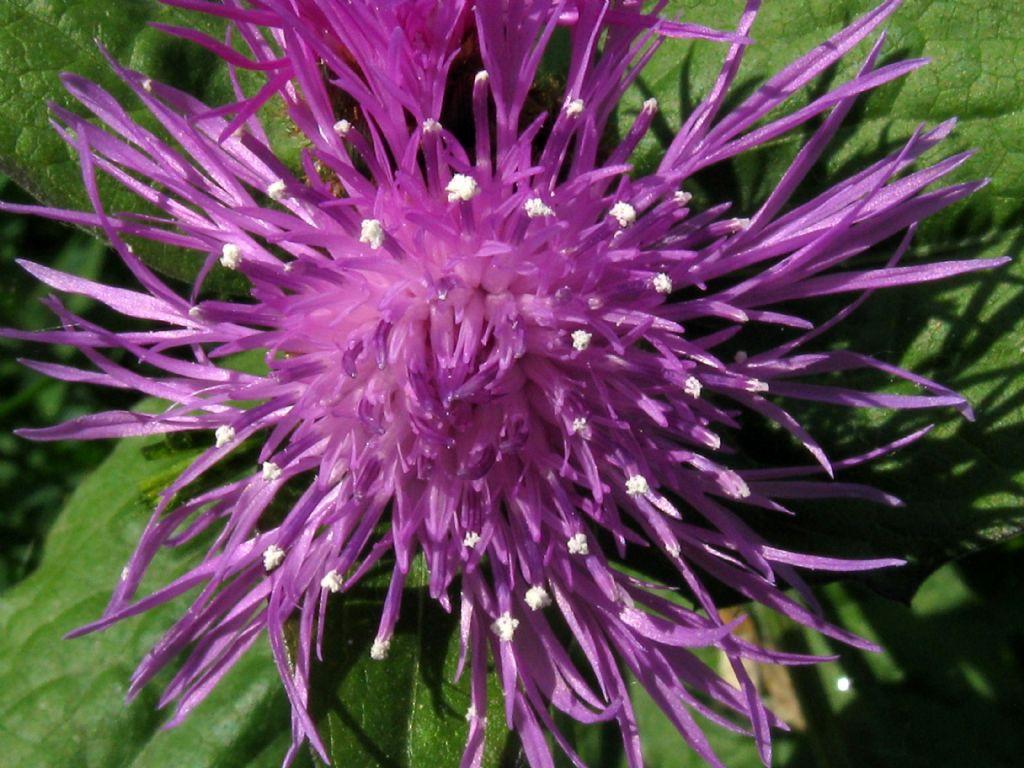 Centaurea nigrescens? si