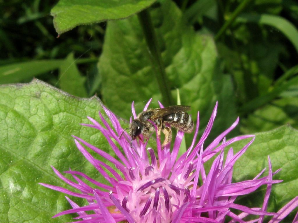 Apidae...?