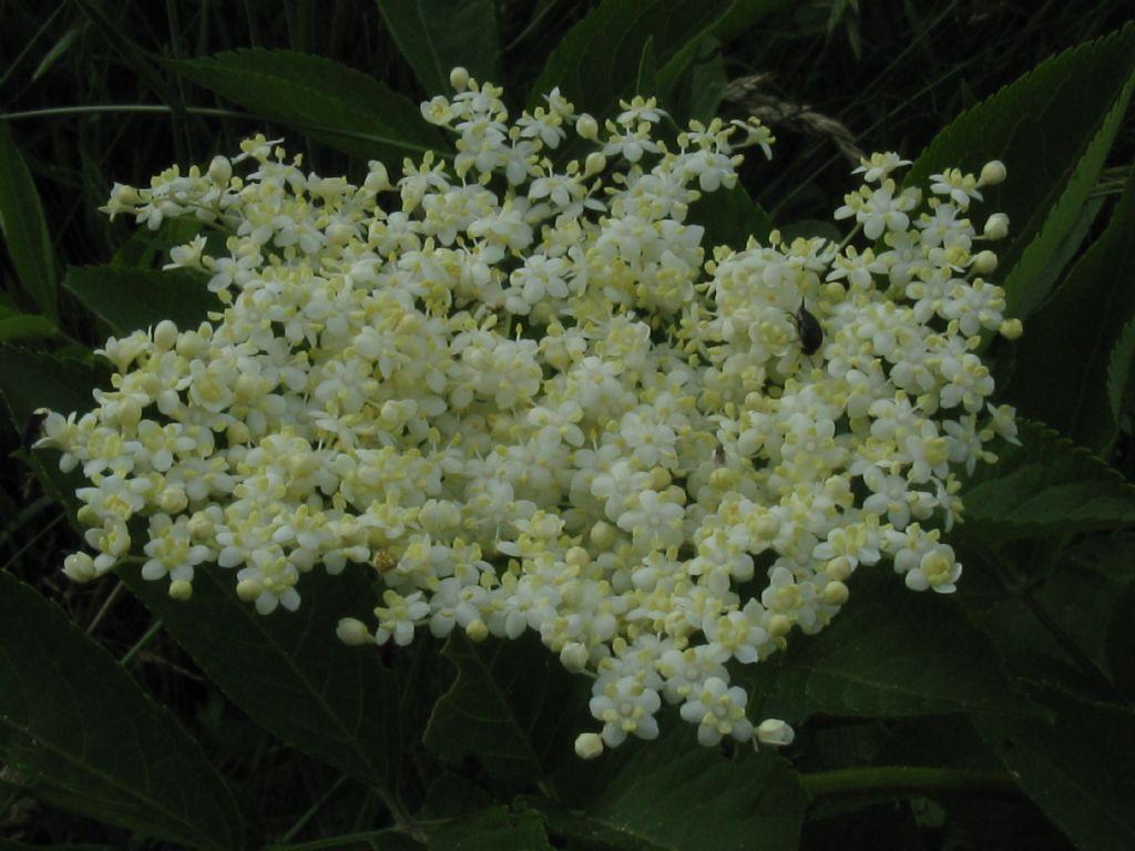 Sambucus nigra (Adoxaceae)