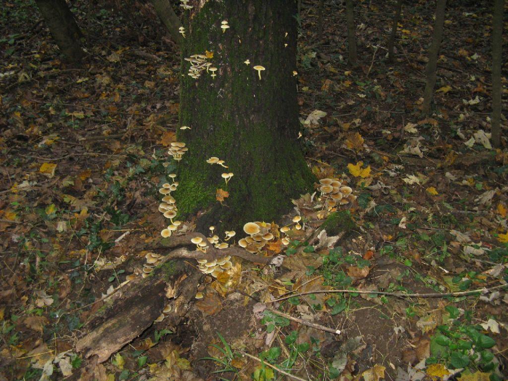 Funghi ottobre 6 - Collybia dryophila/Gymnopus dryophilus?