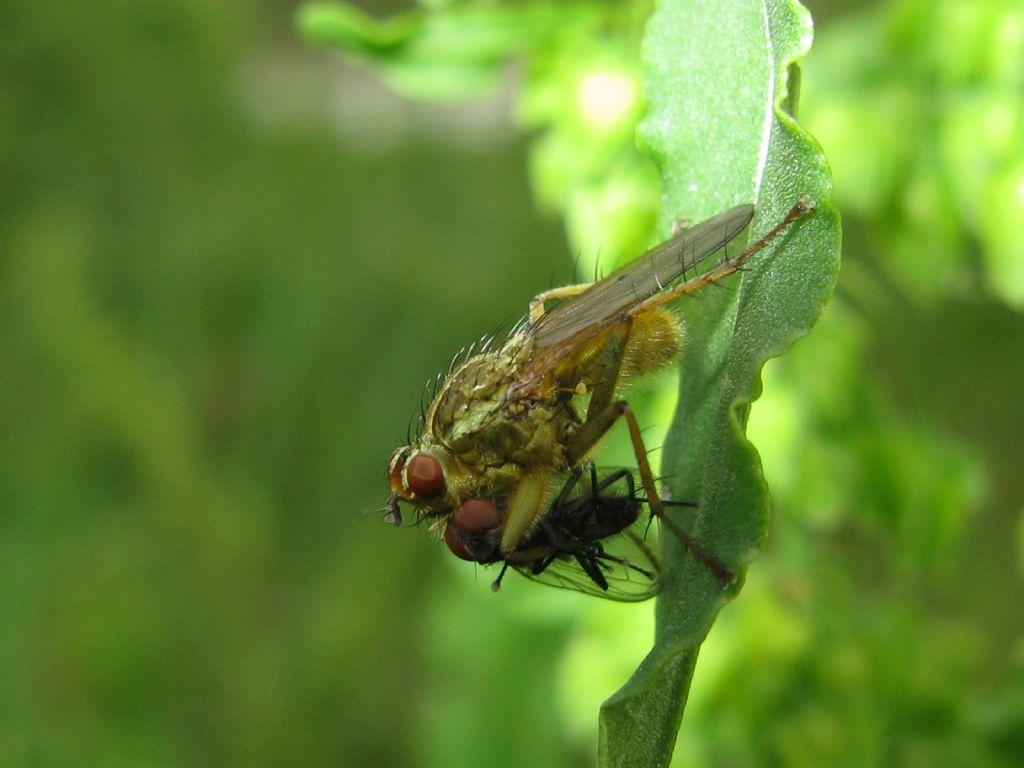 Scathopagidae: Scathophaga stercoraria