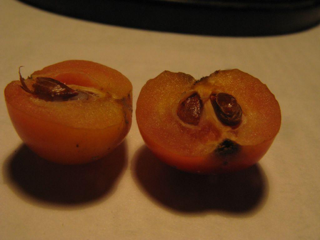 Melo selvatico a frutti rossi?  Sì, ibrido cv di Malus sp.