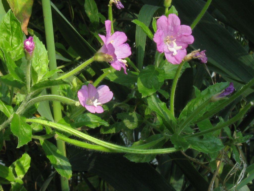 Epilobium hirsutum (Onagraceae)