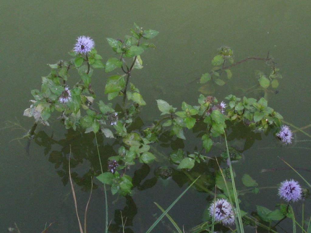 Mentha aquatica / Menta acquatica