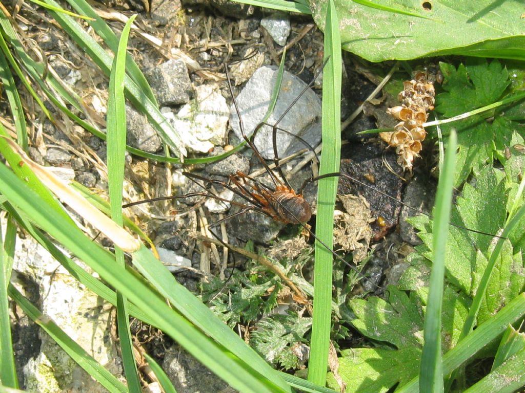 Phalangium opilio - Phalangiidae