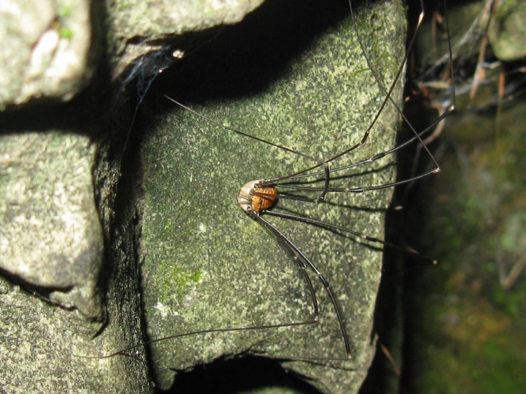 Leiobunum limbatum - Sclerosomatidae