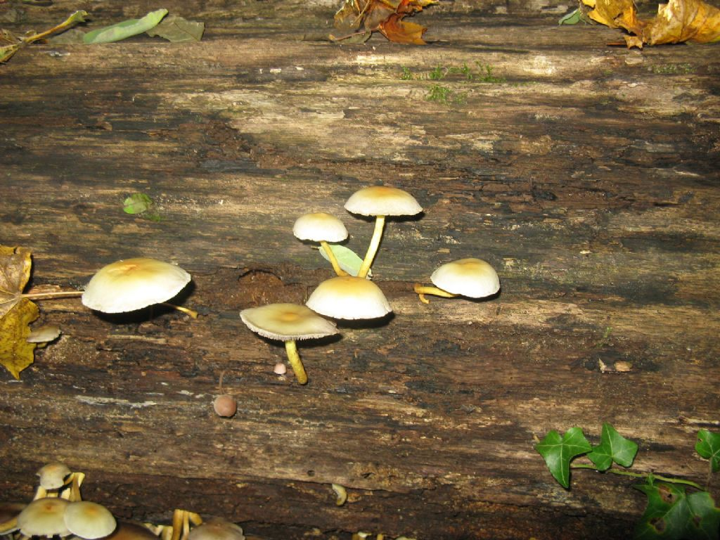 Funghi da ident. 7
