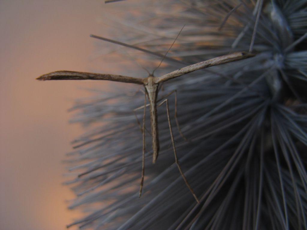 Pterophoridae: Emmelina monodactyla