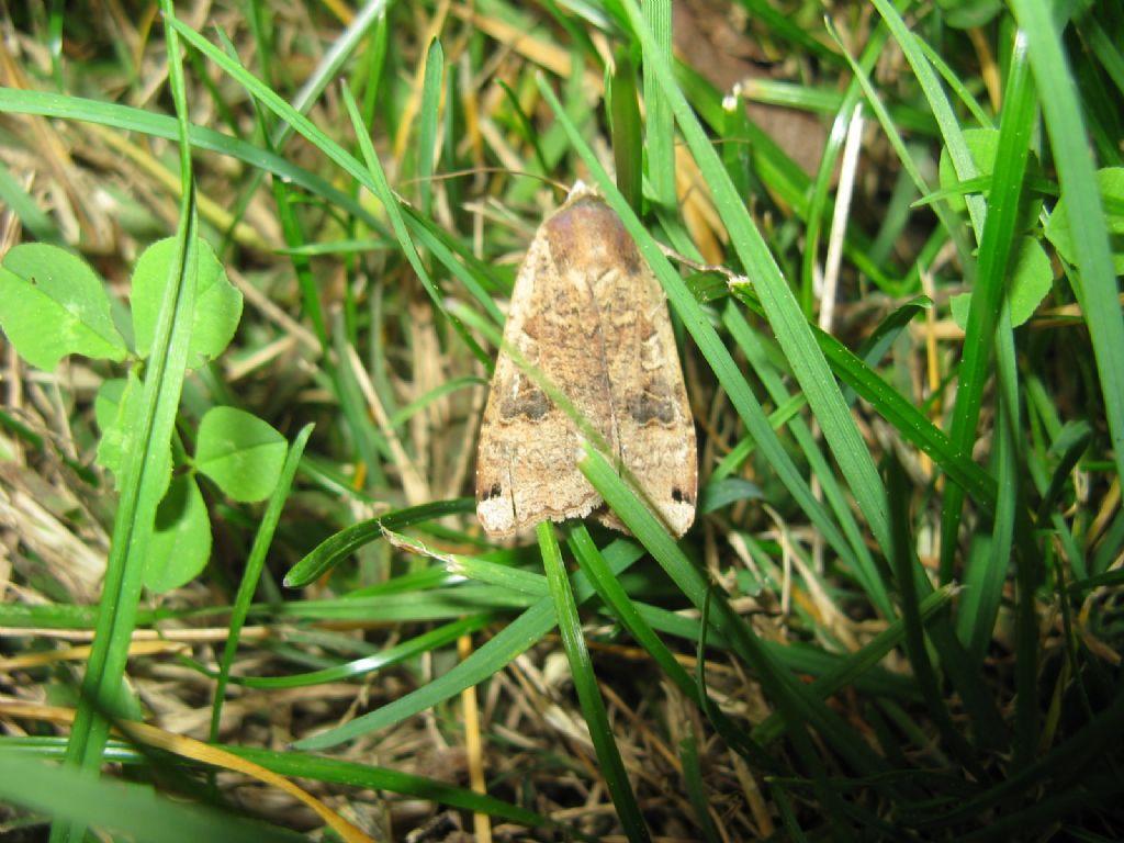 Nomophila noctuella?   No, Noctua pronuba (Noctuidae)