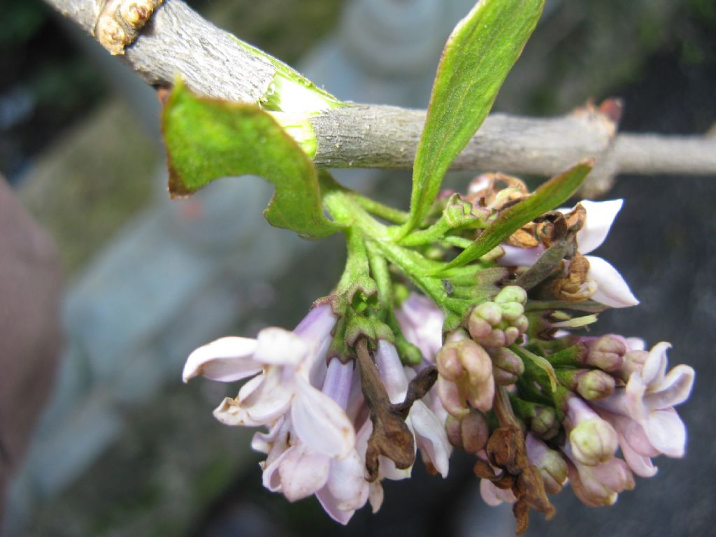 cv di Syringa sp. (Oleaceae)