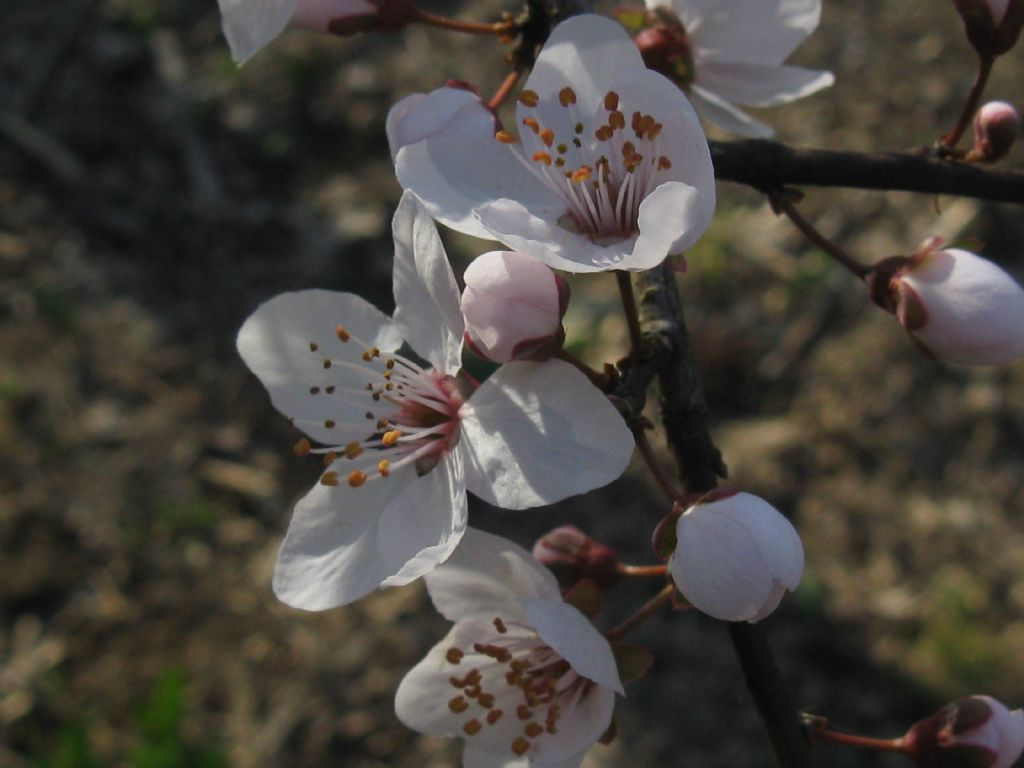 Prunus sp. (Rosaceae)
