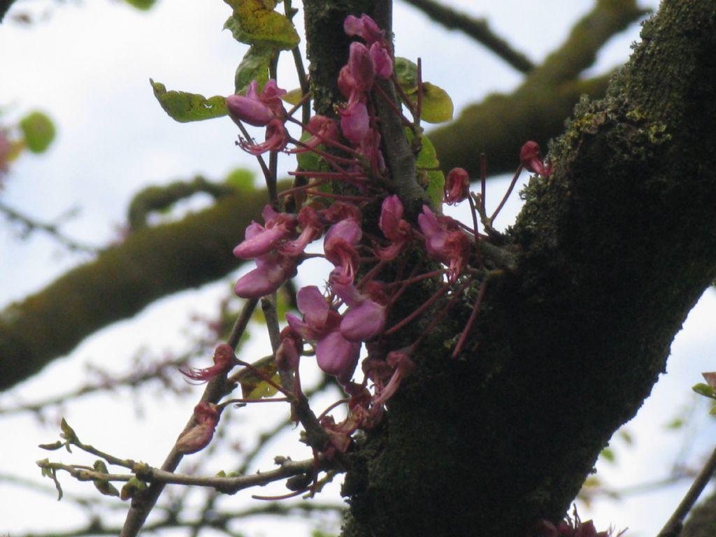 Cercis siliquastrum (albero di Giuda)