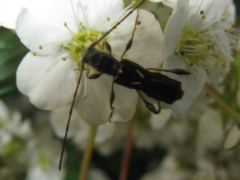 Oedemera...? No, Cerambycidae: Molorchus minor