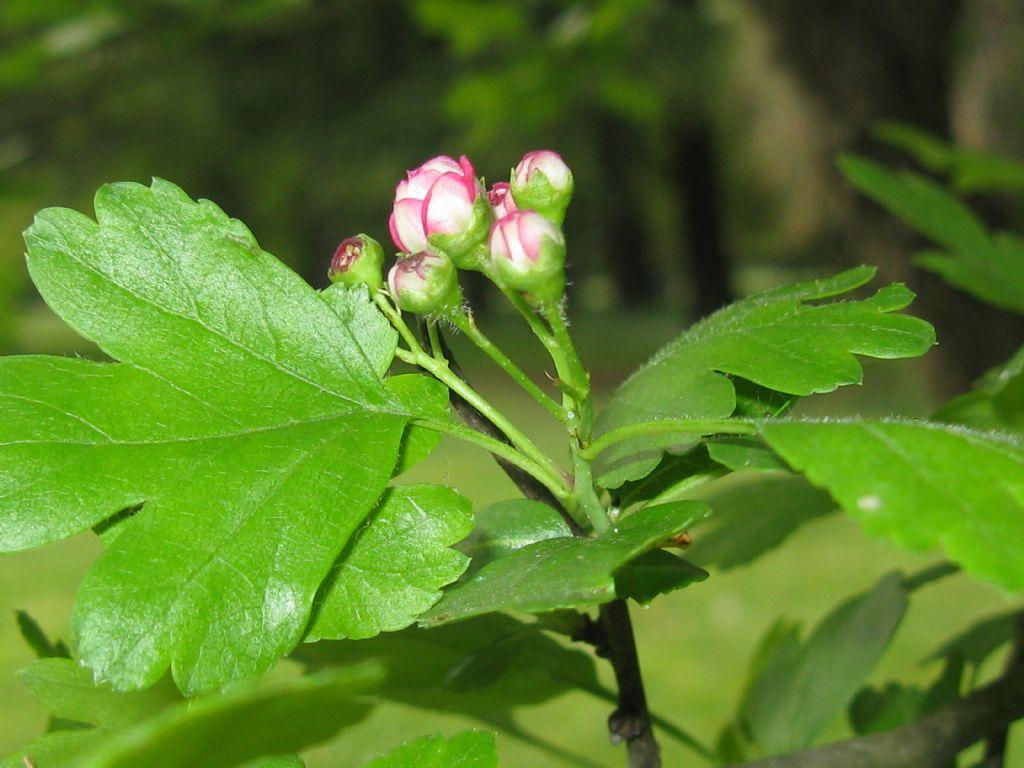 cv di Crataegus x media (Biancospino) a fiori rossi