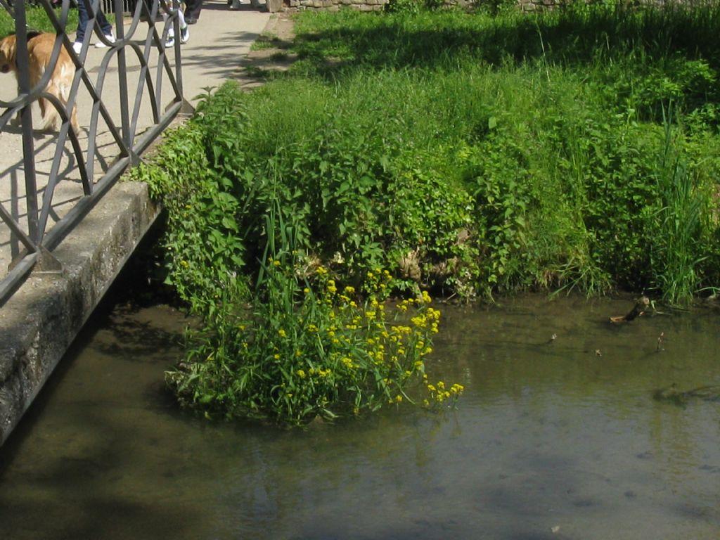 Rorippa amphibia / Crescione anfibio