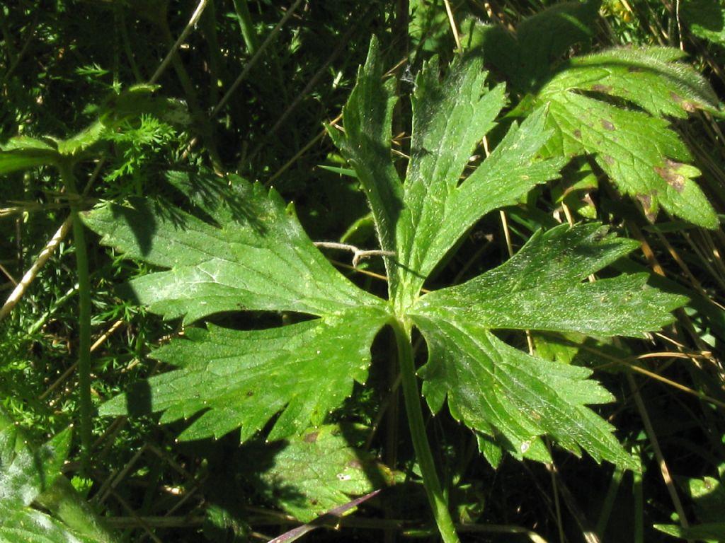 Ranunculus repens?