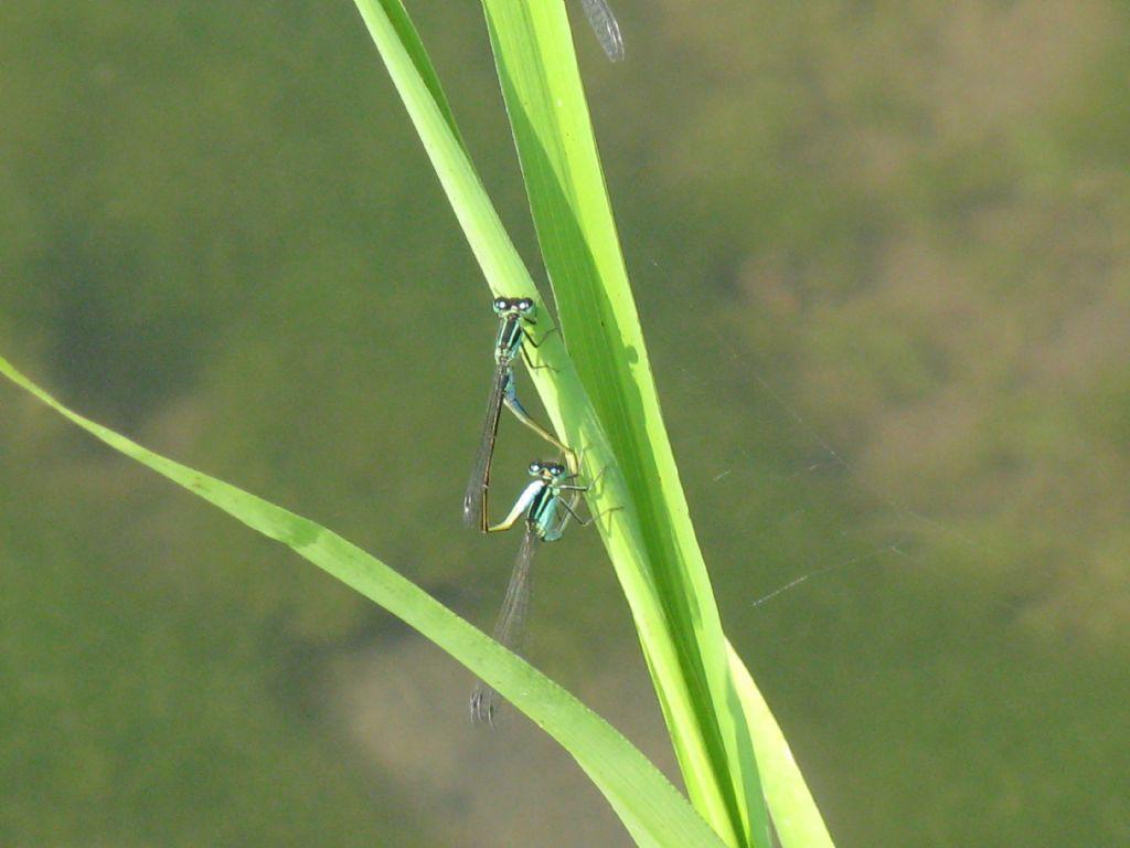 Accoppiamento di Ischnura elegans, femmina androcroma (forma A)