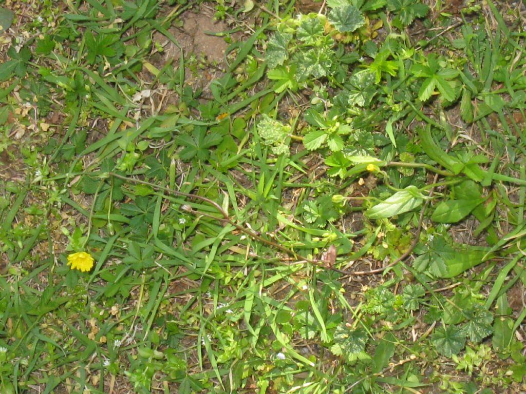 Crepis sancta subsp. nemausensis (Asteraceae)