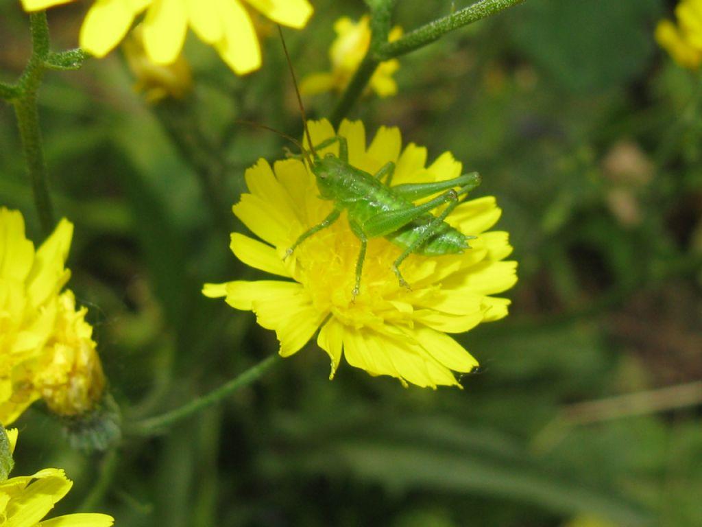 Conocephalus...? No, ninfa di Tettigonia viridissima
