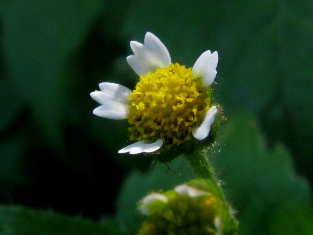 Galinsoga sp. (Asteraceae)