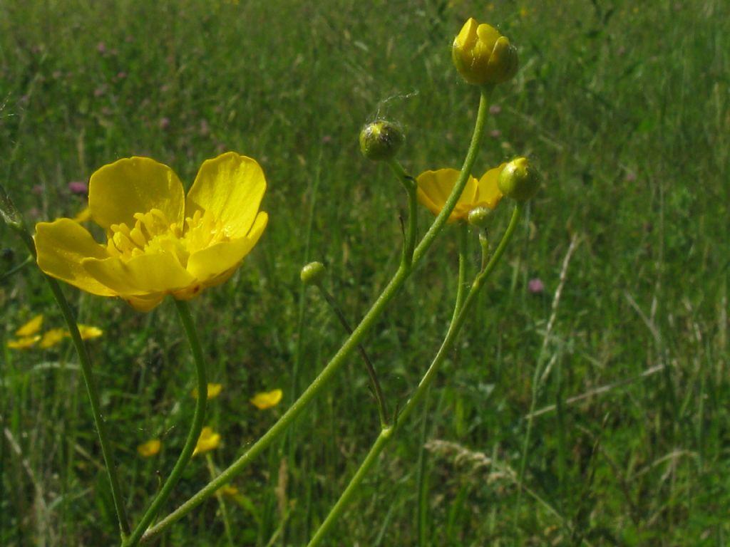 Ranuncolo...?  Ranunculus acris, da confermare
