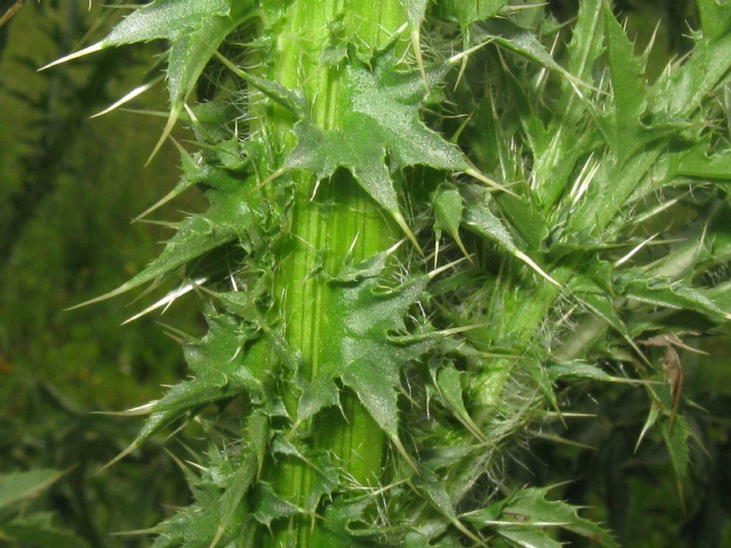 Cirsium vulgare? No, Carduus acanthoides