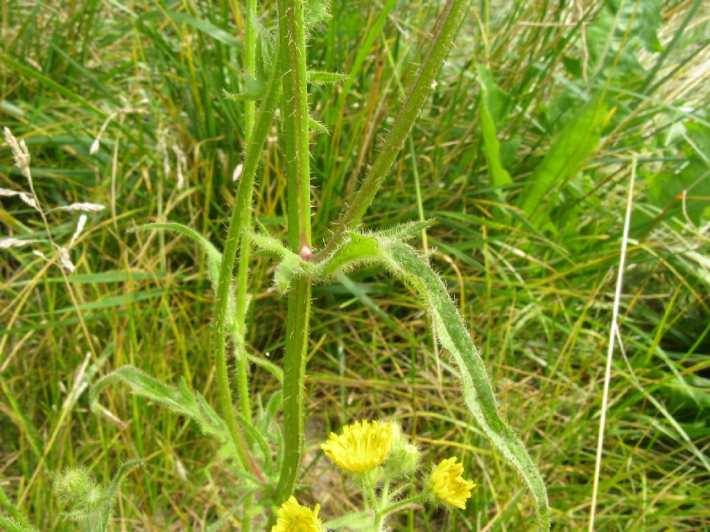 Asteraceae: Hypocaeris sp. e  Crepis cfr. capillaris