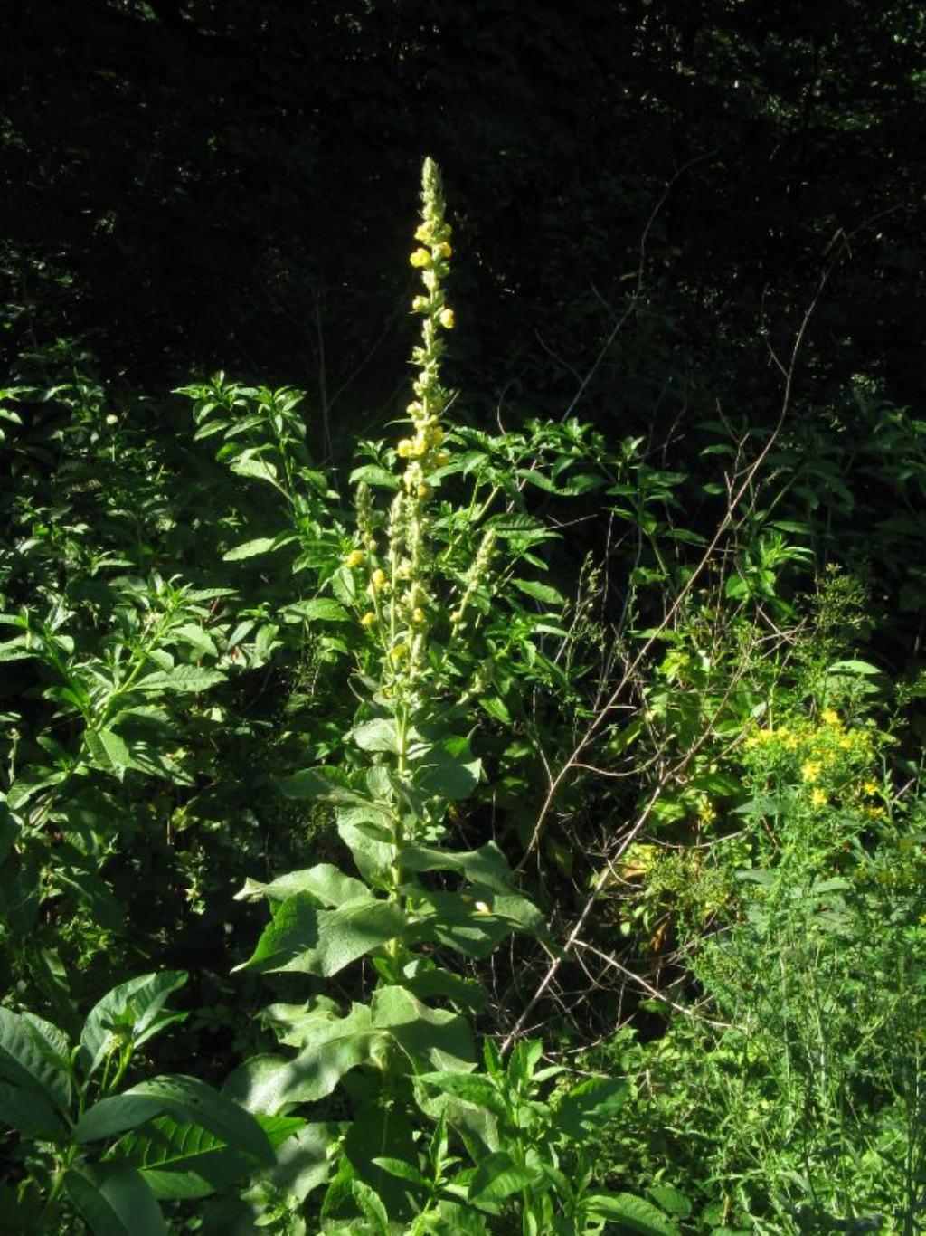 Verbascum phlomoides?  Sì !