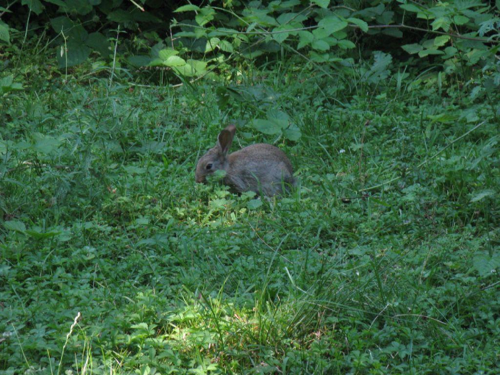Coniglio o lepre? Coniglio