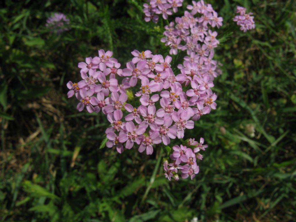 Tutte infiorescenze di Achillea millefolium? ... Achillea sp.