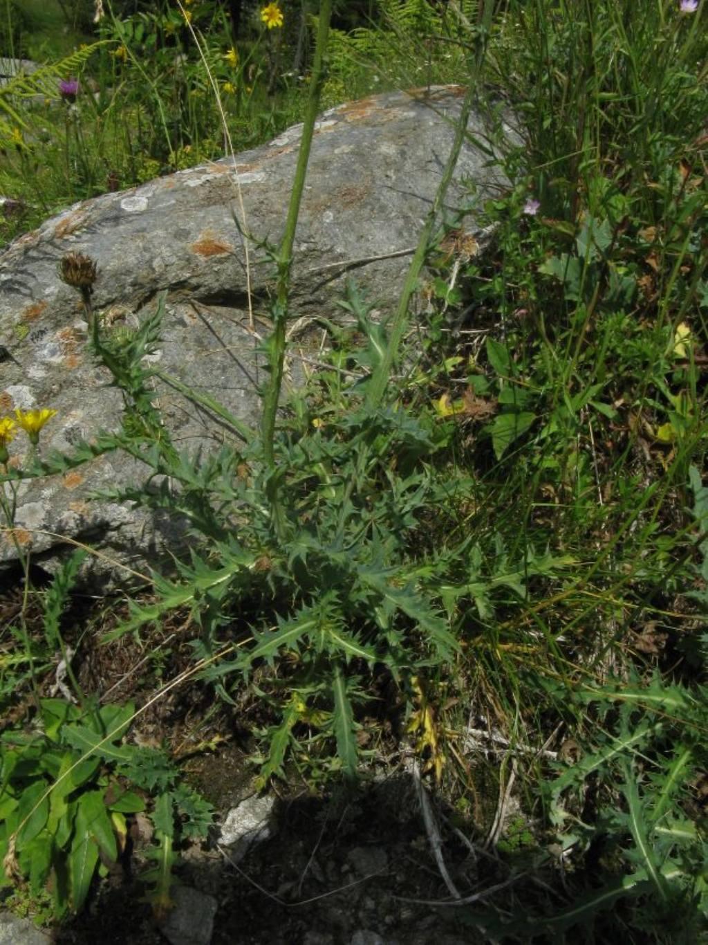 Carduus...?  Sì, Carduus defloratus subsp. defloratus