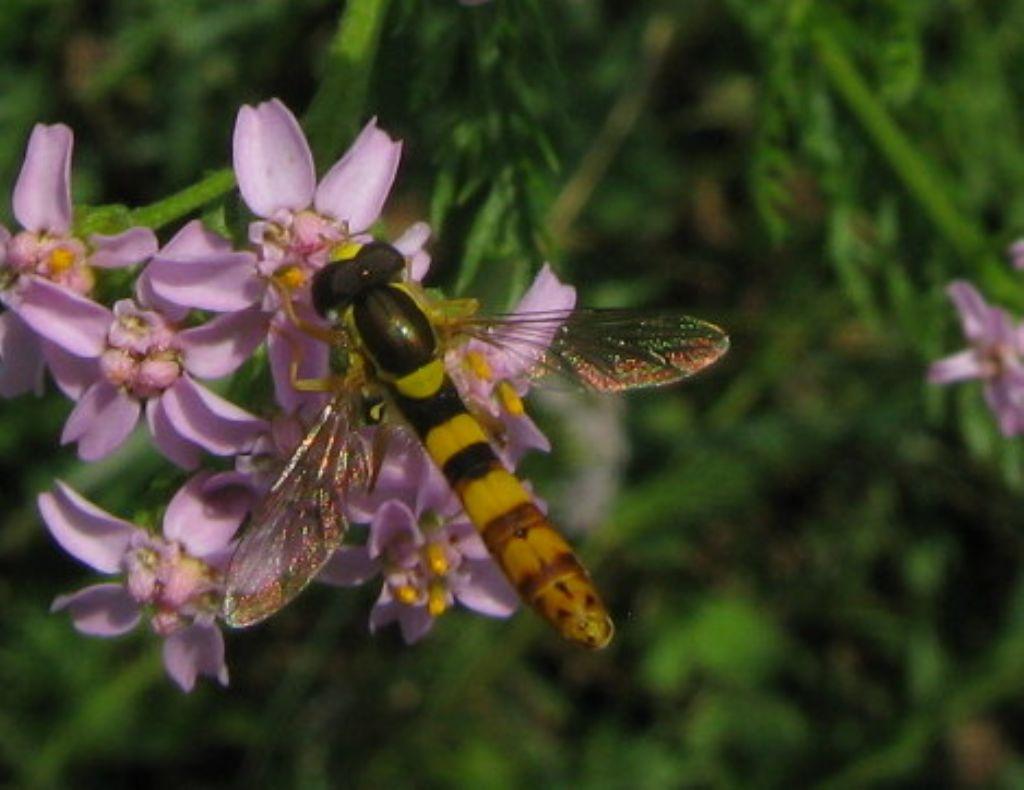 Quale Syrphidae? Sphaerophoria cfr. scripta