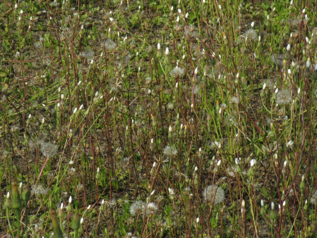 Asteracea : Crepis foetida