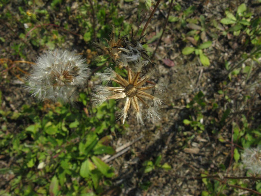 Asteraceae:   Crepis foetida e  Hypochaeris sp.