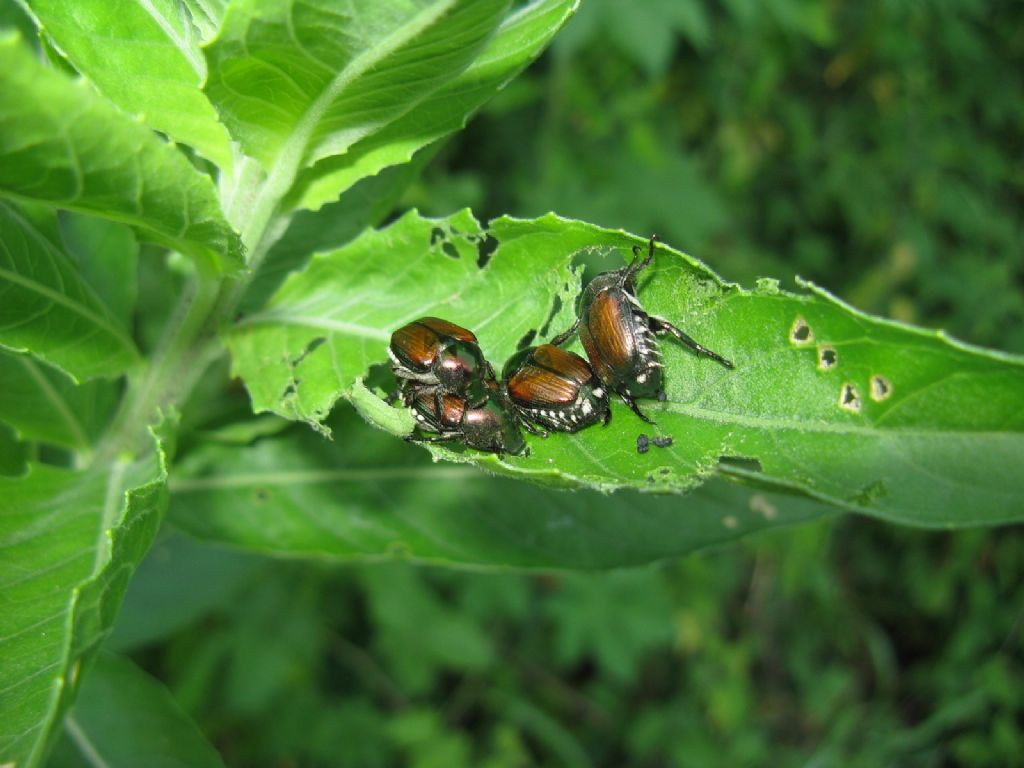 Rutelidae: Popillia japonica