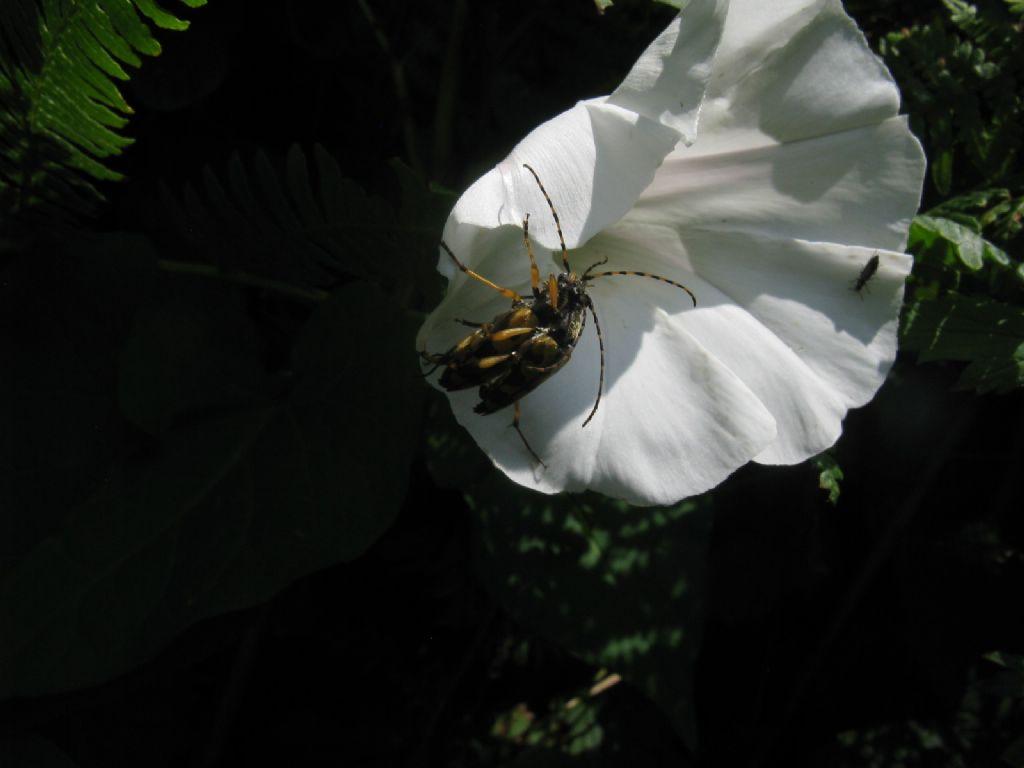 Dasytidae: Dasytes sp.