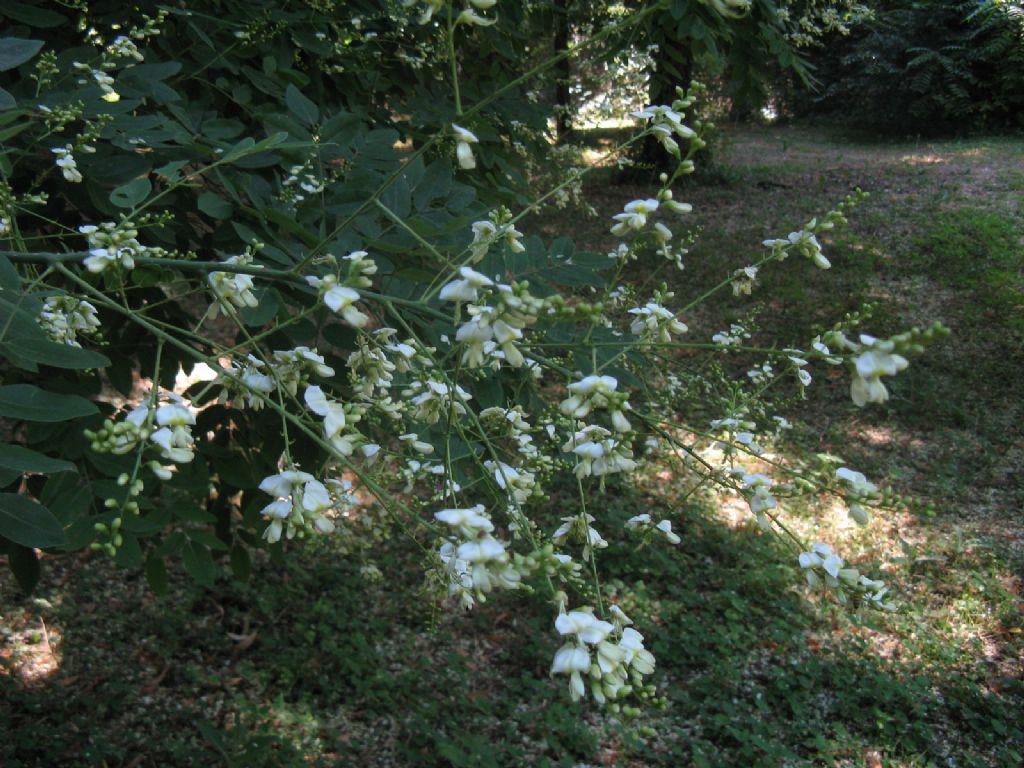 Styphnolobium japonicum (=Sophora japonica) / Sofora