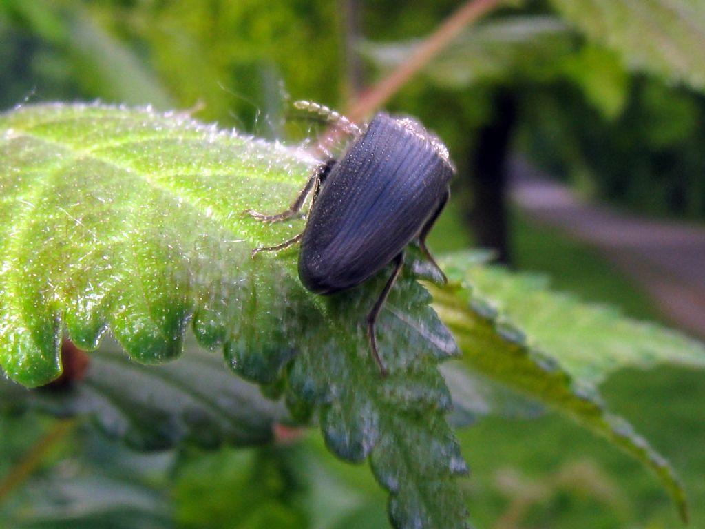 Elateridae: Athous? No, forse Melanotus tenebrosus