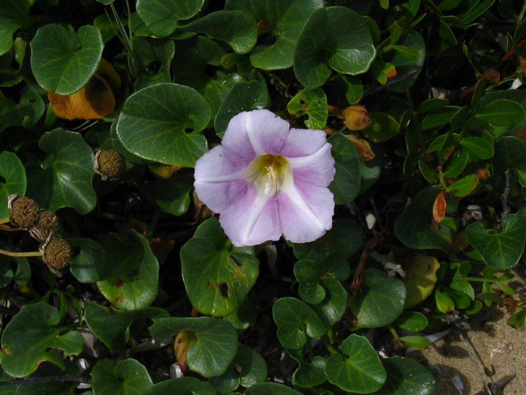 Convolvulus soldanella  (Convolvulaceae)