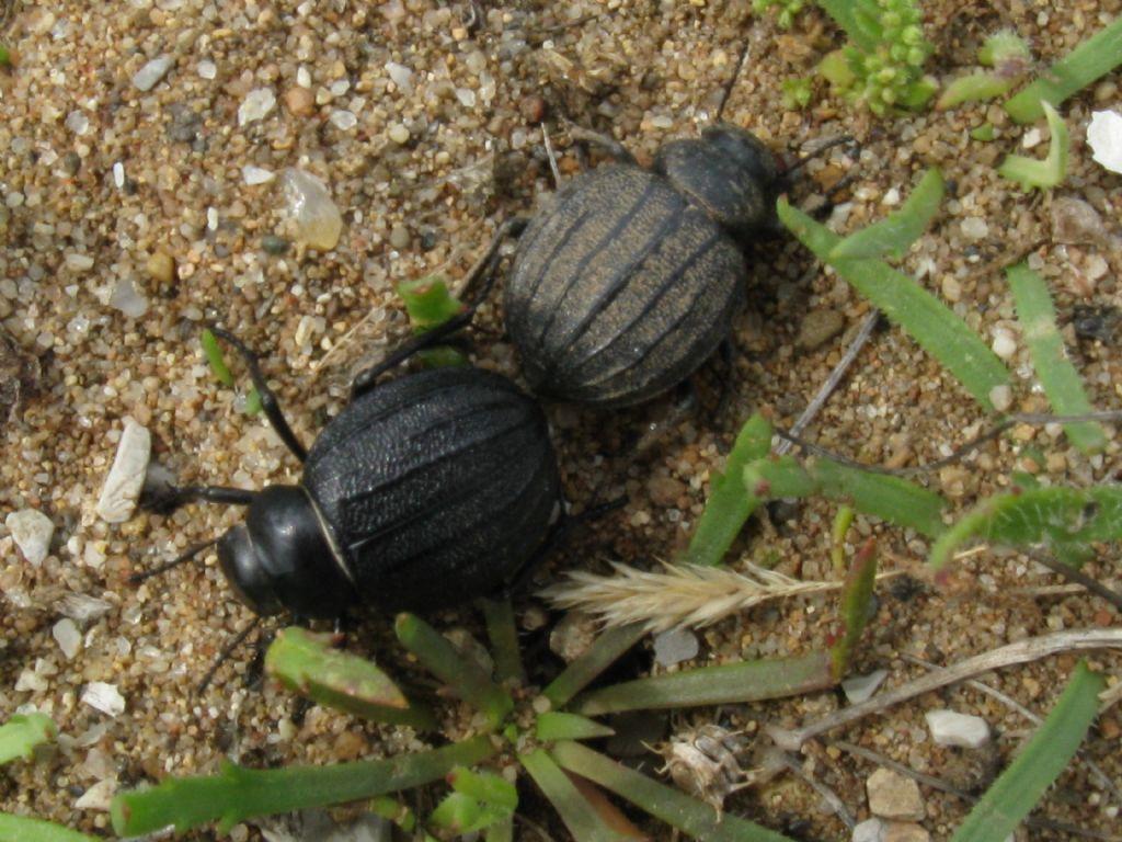 Tenebrionidae: Pimelia bipunctata papii