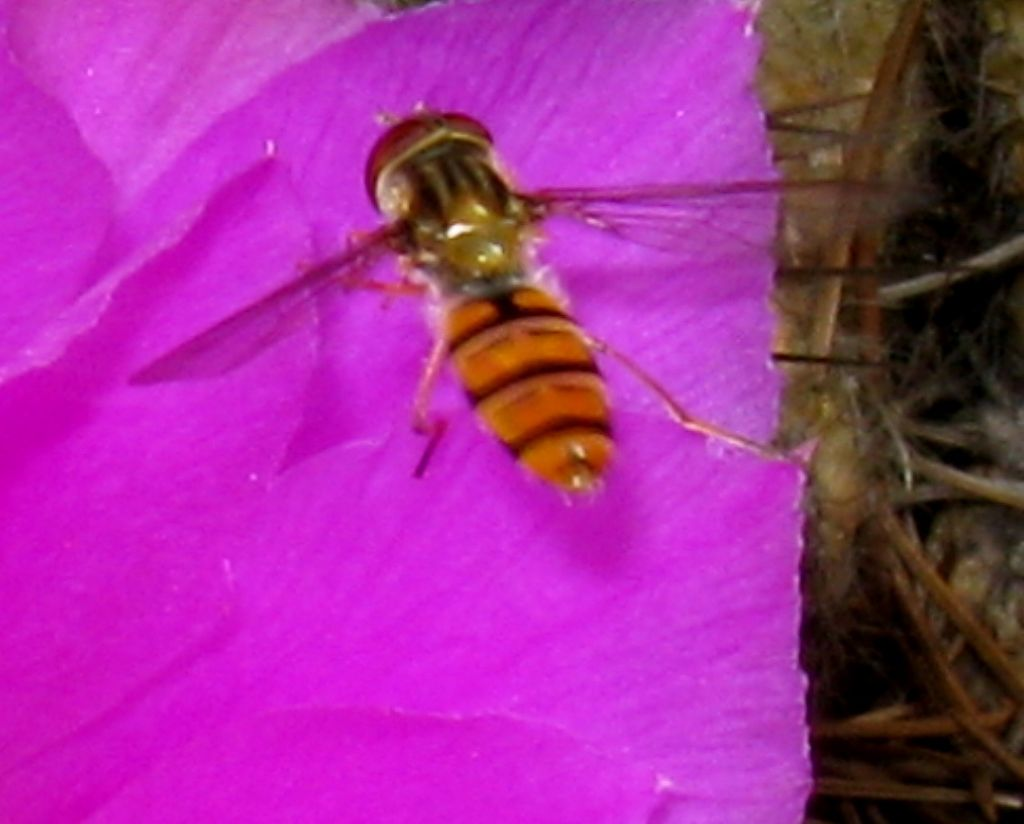 Episyrphus balteatus  di sesso...? maschile